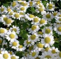 Как называются цветы, похожие на ромашки: разноцветные, многолетние