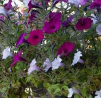 Все о петунии: описание цветка, однолетняя или многолетняя, как ухаживать