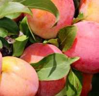 О сливе Персиковая Мичурина: описание сорта, агротехника выращивания