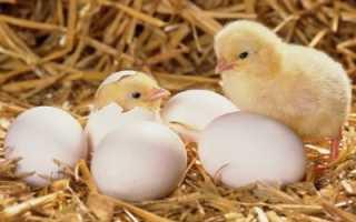 О Метронидазоле и Трихополе для цыплят, бройлеров, кур (как разводить в воде)
