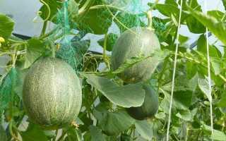 Как выращивать дыни в открытом грунте в Сибири: условия и сорта для посева