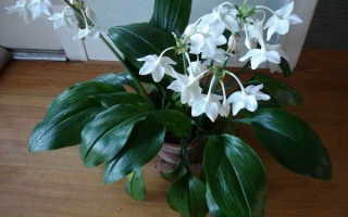 Об амазонской лилии: почему не цветет, уход, пересадка в домашних условиях