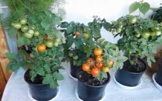 Как правильно выращивать томаты в горшках: условия выращивания помидор в горшках