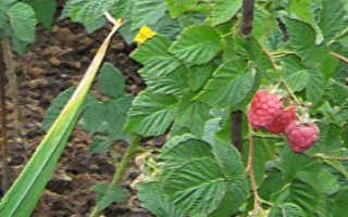 Что можно посадить рядом с малиной: совместимость с другими растениями
