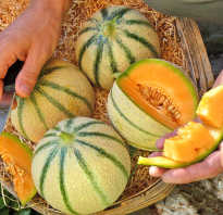 Все о дыне Канталупа: что это такое, как выглядит, агротехника выращивания