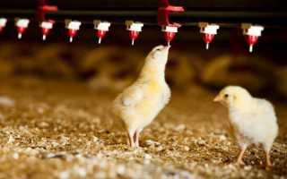О кормушках и поилках для цыплят бройлеров: как сделать своими руками