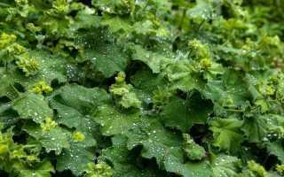 О траве манжетка обыкновенная: как выглядит, где растет, лечебные свойства