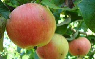 О яблоне Приземленное, характеристики карликового сорта, агротехника выращивания