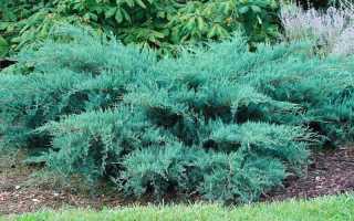 О можжевельнике скальном: лучшие сорта, описание растений, посадка и уход