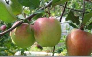 О яблоне Зимняя Красавица, описание сорта, характеристики, как выращивать