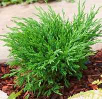 О можжевельнике Андорра Компакт: описание сорта, как посадить и ухаживать