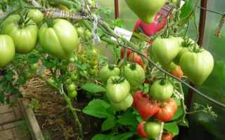 Сахарный бизон: описание сорта томата, характеристики помидоров, посев