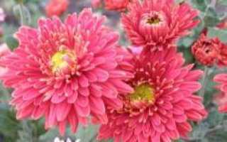 О хризантеме корейской: описание и характеристики сортов, выращивание