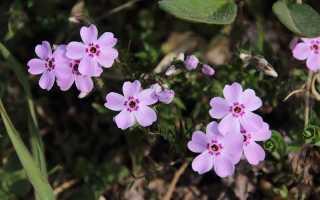 Как посадить однолетние флоксы: как ухаживать, выращивание из семян