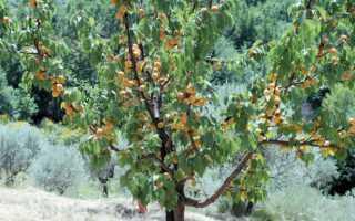 Об абрикосе Фаворит: описание и характеристики сорта, посадка, уход, выращивание