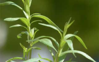 О траве тархун (эстрагон): свойства и сфера применения, посадка и уход