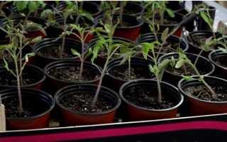 Подкормка рассады помидоров в домашних условиях, какие удобрения подходят