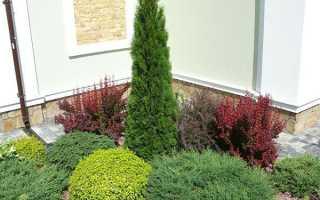 Как посадить тую Смарагд западную: условия выращивания, как ухаживать