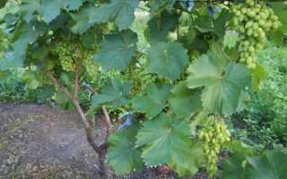 Почему на винограде дырявые листья, кто ест листья и кору, способы борьбы