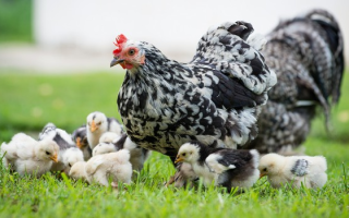 Сколько дней и как курица наседка высиживает яйца (сроки высиживания)