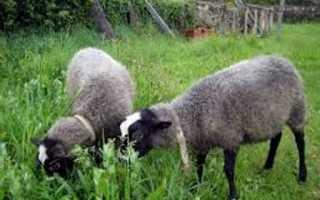О Романовской породе овец: описание, характеристика, содержание и разведение