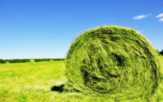 О суданской траве: как выглядит, полезные свойства, где применяется растение