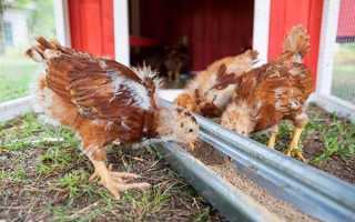 О выращивании цыплят в домашних условиях для начинающих: кормление, уход