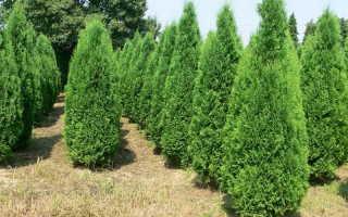 Сорта туи шаровидной: описание, как посадить и выращивать в открытом грунте