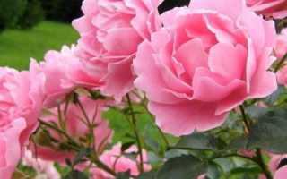 О подкормке роз в июле и августе: чем можно удобрять для пышного цветения