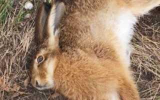 Почему дохнет кролик: от чего умирает молодняк без видимых причин, что делать