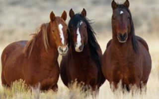 Как определяется возраст у лошади: сколько живут кони, возраст лошади по зубам