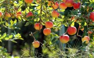 О сортах яблонь для средней полосы: поздние и ранние сорта, какие подходят