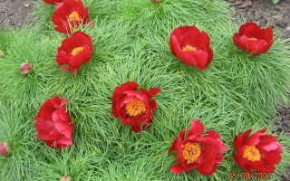 О тонколистных пионах: особенности размножения семенами узколистных пионов