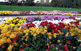 Разновидности хризантемы садовой кустовой (белая, желтая, зеленая)