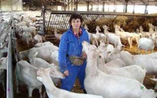 О козах домашних: все об уходе для начинающих, сколько живет, как ухаживать