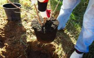 Пересадка яблони на новое место: когда можно пересаживать (весной, летом)