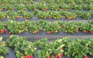 О выращивании крупной клубники: как вырастить крупную клубнику на даче