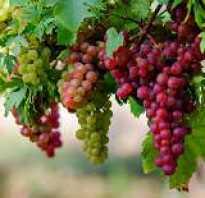 Выращивание винограда на Кубании, сорта винограда, когда цветет, как ухаживать