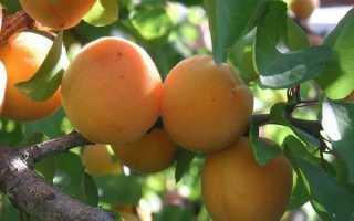 Об абрикосе Графиня: описание и характеристики сорта, посадка, уход, выращивание