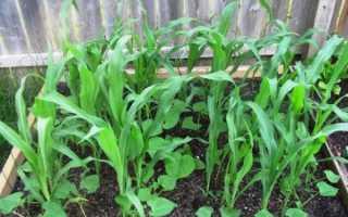 О высаживании огурца и кукурузы на одну грядку: можно ли выращивать вместе (схема)