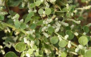 О траве Пол-Пала: как выглядит, другое название, где растет, сфера использования